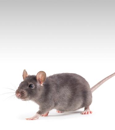 쥐는 왜 첫 번째 동물이 되었을까?